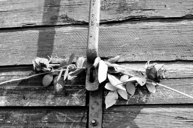 Rosen vor einer Holztür,, hinter dem Riegel platziert, schwarz-weiß Fotografie